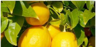 Лимон в лечении онкологии